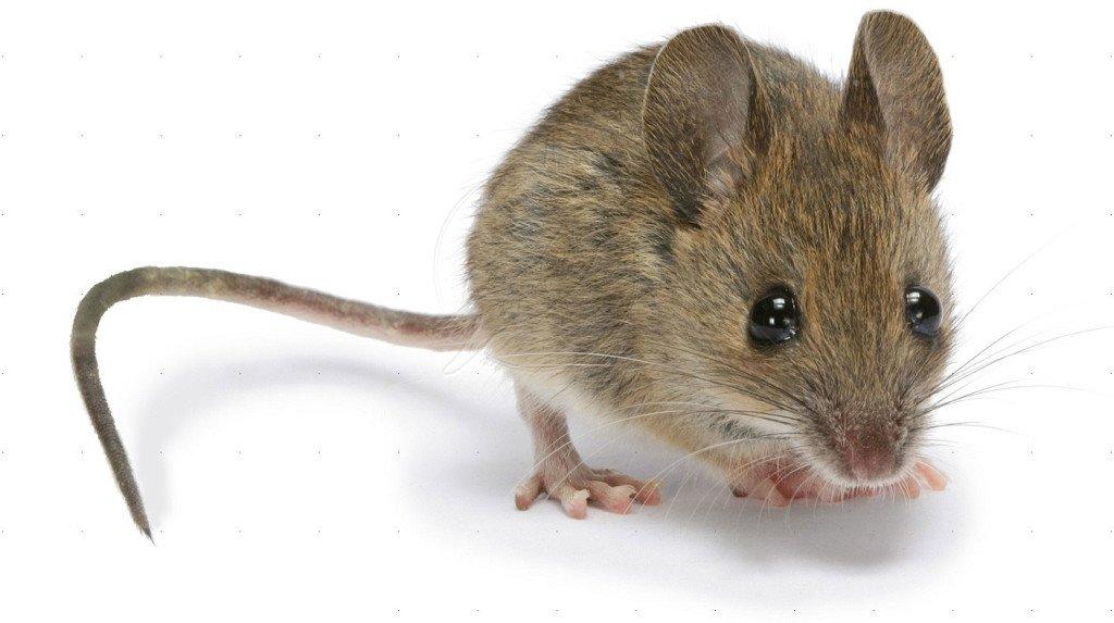 Disinfestazione Topi e Ratti e a Torino