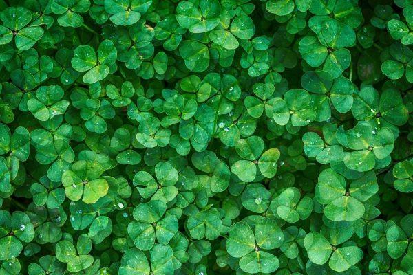 clover, leaves, green